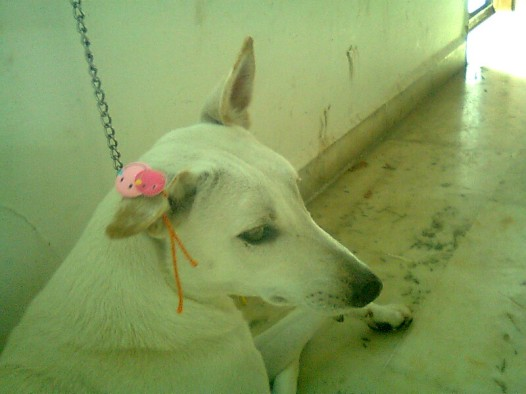 Nenny - pretty as ever - although the Rakhi on her ear was short-lived